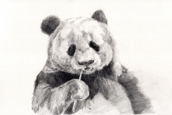 Panda sketch in pencil - Standard