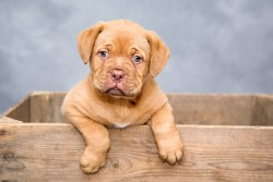 dogue-de-bordeaux- Standard